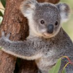 Friends of the Koala